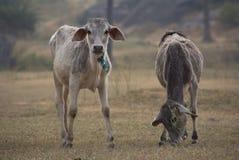 Indian cows graze Stock Photos