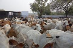 Indian Cows Herd Goshala 2 Stock Photos