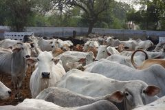 Indian Cows Herd Goshala Royalty Free Stock Photography