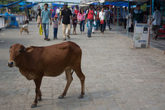 Indian cows Stock Images