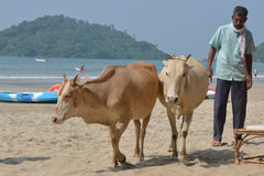 Indian cows Royalty Free Stock Photos