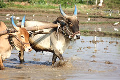 Indian Cows. Plowing in paddy field Stock Photos