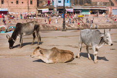 Indian cows rest on the street of the old town Royalty Free Stock Photos