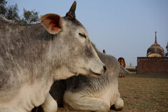 Indian Cows Rest in the Sun Stock Images