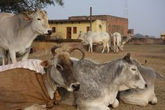 Indian Cows Rest in the Sun 3 Stock Photos