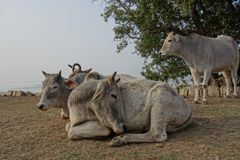 Indian Cows Rest in the Sun 2 Royalty Free Stock Photos