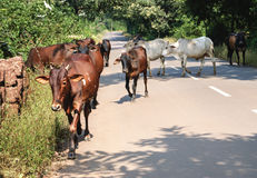 Indian Cows on the road. Brown and white cows on the road in a bright sunlight, India Royalty Free Stock Photos