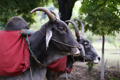 Indian cows Royalty Free Stock Photography