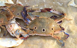 Indian Crabs. Stock Photography