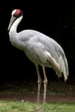 Indian crane Royalty Free Stock Image