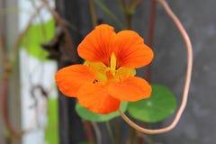 Indian cress. Garden nasturtium,Indian cress, monks cress royalty free stock photography