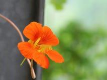 Indian cress. Garden nasturtium,Indian cress, monks cress royalty free stock image