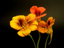 Indian cress (nasturtium) Royalty Free Stock Images