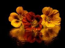 Indian Cress (nasturtium) Royalty Free Stock Image