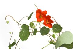 Indian Cress With Orange Flowers Stock Photo