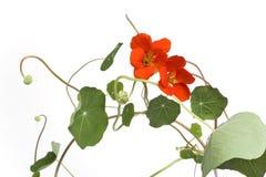 Indian Cress With Orange Flowers Stock Photo