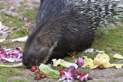 Indian Crested Porcupine eating vegetables Royalty Free Stock Images