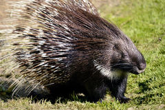Indian Crested Porcupine on grass Royalty Free Stock Image