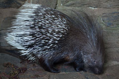 Indian crested porcupine Hystrix indica Stock Photography