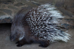 Indian crested porcupine Hystrix indica Stock Images