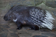 Indian crested porcupine Hystrix indica Royalty Free Stock Photo