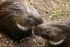 Indian Crested Porcupine Hystrix indica couple caring for each o. Ther funny mustache Royalty Free Stock Images