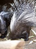 Indian crested porcupine, Hystrix indica, in the zoo Santiago Stock Photo