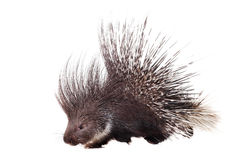Indian crested Porcupine on white Stock Photography