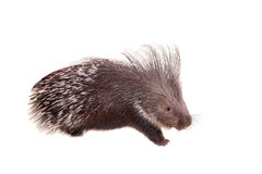 Indian crested Porcupine on white Royalty Free Stock Images