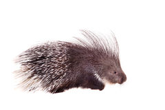 Indian crested Porcupine on white Royalty Free Stock Photos