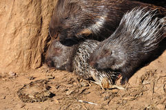 Indian crested porcupines Stock Image