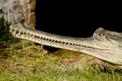 Indian crocodile Gharial Stock Photos