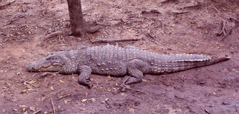 Indian crocodile Royalty Free Stock Images
