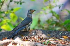 Indian Cuckoo bird Royalty Free Stock Photography