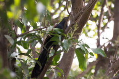 Indian Cuckoo Bird. With dark blue feathers and brown wings on a mango tree Stock Photography