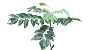 Indian Curry Leaves Royalty Free Stock Image