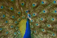 Indian Dancing Peacock Stock Images