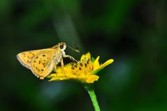Indian Dart butterfly. Of thailand background Royalty Free Stock Image