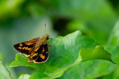 Indian Dart skipper butterfly perching on leaf in a prominent, sunny position. Chiang Mai, Thailand royalty free stock photos