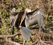 Indian Darter Anhinga melanogaster Royalty Free Stock Image