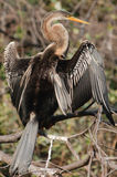 Indian Darter Anhinga melanogaster Royalty Free Stock Photography