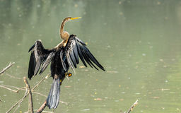 Indian Darter. The darters or snakebirds are mainly tropical waterbirds in the family Anhingidae having a single genus Anhinga. The Oriental darter or Indian royalty free stock photos