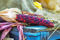 Indian decorative corn on farm display. In fall Stock Photos