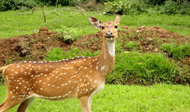 Indian Deer Royalty Free Stock Photo