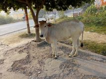 INDIAN DESI COW. Kamadhenu is a divine bovine-goddess described in Hinduism as the mother of all cows. Kamadhneu is also known as a Gayatri and worshipped as a stock photos