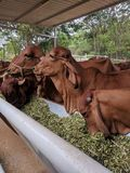Indian desi cows royalty free stock photos