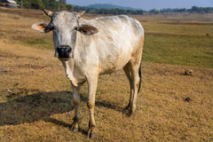 Indian domestic cow Stock Photo