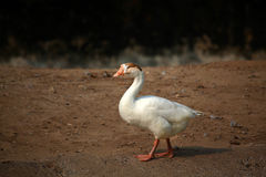 Indian duck Stock Image