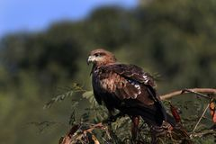 Indian eagle Royalty Free Stock Photography