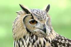 Indian Eagle Owl Royalty Free Stock Photo